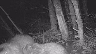Observà dus casturs en Engiadina Bassa