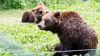 Tschertgà: Babysitter per tschintg urs si Arosa