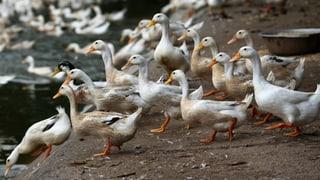 Die Vogelgrippe kehrt zurück