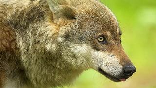 Lockerung des Wolfsschutzes: «Schiesswütige werden sich freuen»