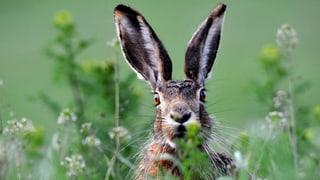 Grenchen: Lieber lange Piste statt lange Ohren