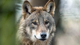 «Die Politik betrachtet den Wolf als Luxusproblem»