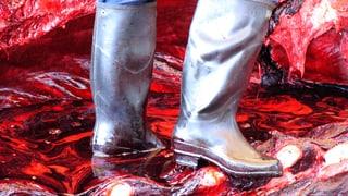 Japan tötet 333 Zwergwale – 122 davon waren trächtig