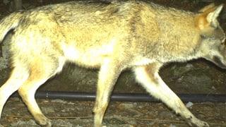 Urner Wolf vor Abschuss illegal angeschossen