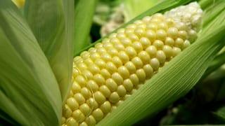 Dem Mais wird es zu warm