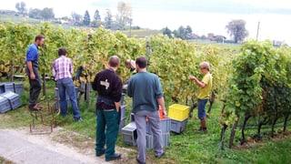 Die Weinbauern reagieren auf den Klimawandel