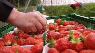 Schweizer Bauern zahlen Erdbeer-Pflückern Hungerlöhne