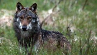 Ein SMS warnt in Zürich vor dem Wolf