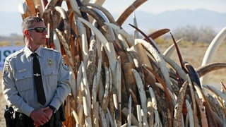 Aus Protest: USA zerstören sechs Tonnen Elfenbein