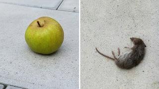 Quiz: Welche Apfel-Begriffe verstecken sich hier?