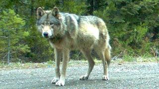 Der Wolf ist bald auch in den Kantonen Aargau und Solothurn