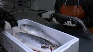 Erste Lachse aus Lostallo