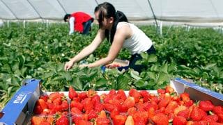 Migros startet Öko-Offensive bei den Erdbeerplantagen