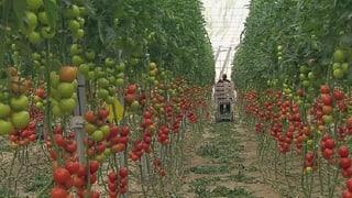 Gemüse aus Spanien: Hungerlöhne für Pflücker
