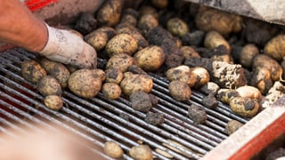 Den Kartoffeln war's diesen Sommer zu heiss