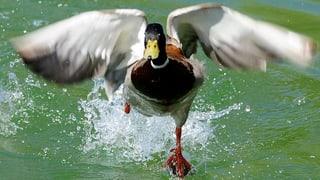 Im Aargau ist mehr als jedes vierte gejagte Tier ein Vogel