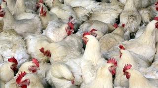Schweiz reagiert auf Vogelgrippe-Fälle in Italien