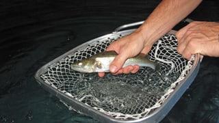 Bauern züchten im Schweinestall Fische
