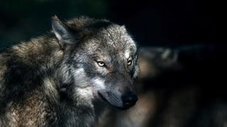 Auch Jäger wollen den Wolfsschutz nicht ganz abschaffen