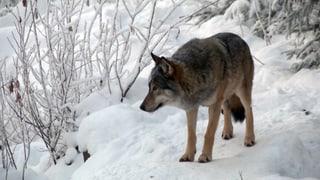 Der Wolf wird nicht zum Freiwild