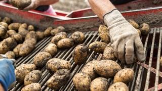 Der Schweiz droht eine Kartoffelkrise