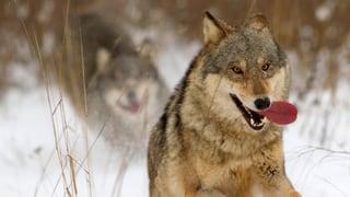 Erleichterter Wolfsabschuss nimmt nächste Hürde