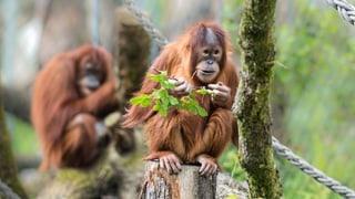 Gute Noten für Schweizer Zoos: Den Tieren geht es gut