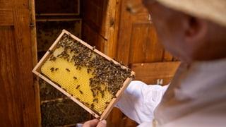 Bienensterben: EU-Kommission erwägt Insektizid-Verbot
