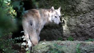Der Kanton Zürich löst zum ersten Mal den Wolf-Alarm aus
