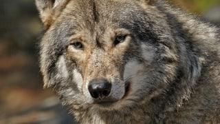 St. Gallen setzt beim Wolf auf Herdenschutz