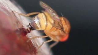 Kirschessigfliege bereitet Obstbauern schlaflose Nächte
