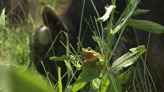 Video «Frosch Romeo auf Liebestour» abspielen