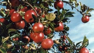 Schweizer Äpfel mit neuer Gentechnik