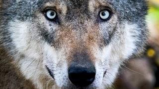 Kanton will Wolfs-Warnsystem einführen