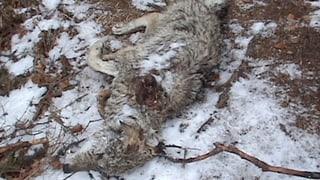 Wolf-Wilderer: 10'000 Franken Kopfgeld ausgesetzt