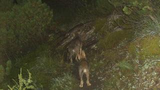 Ungefährliche Wölfe zum Abschuss freigegeben