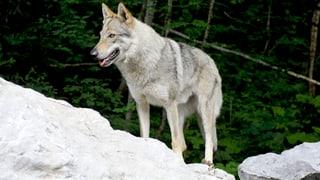 Ständeratskommission bläst zur Wolfsjagd