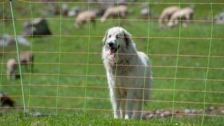 Wallis gibt sich klare Regeln, um Schafe vor dem Wolf zu schützen