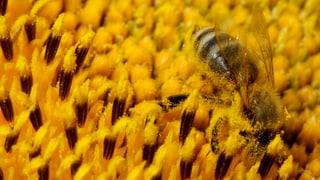 Neue Blühstreifen ernähren Bienen und Hummeln
