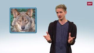 Wie gefährlich ist der Wolf?