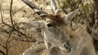 Afrikanische Antilopen im aargauischen Herznach