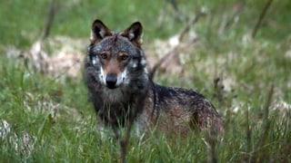 Wieder gerät ein Wolf im Wallis ins Visier der Behörden