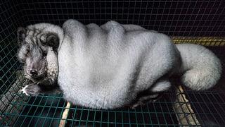 Billiger Echtpelz – den Preis zahlen die Tiere