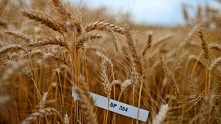 Gentech-Versuche: Bauern fordern mehr Bodenhaftung
