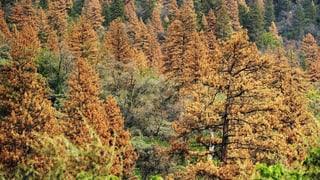 Vor zwei Jahren waren diese Bäume noch grün