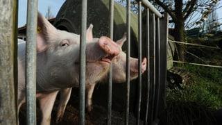 Schweineproduzenten haben wenig vom Grillwetter