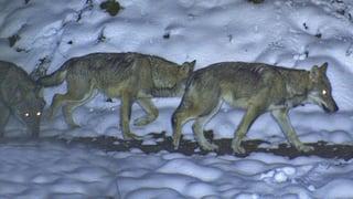 Video «Wolf und Bär: Wer braucht Schutz vor wem?» abspielen