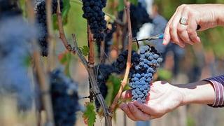 Es wird ein guter Aargauer Weinjahrgang 2014