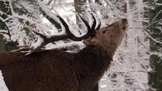 Berner Wild und Berner Wald kommen sich in die Quere
