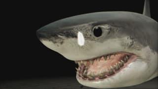 Video «Weisser Hai unter dem Messer» abspielen